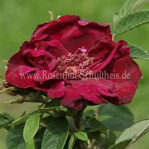 Rosen Düngen Im Frühjahr : rotes ph nomen rosen online kaufen im rosenhof schultheis rosen online kaufen im rosenhof ~ Orissabook.com Haus und Dekorationen