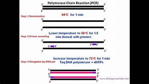 Polymerase Chain Reaction  Pcr  Steps  Requirements And