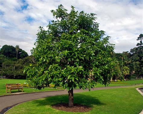 GardensOnline: Brachychiton acerifolius