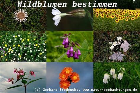 wildblumen lexikon mit bildern wildblumen lexikon mit bildern wildblumen heimische wildblumen verschwinden was gartler f r