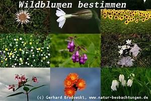 Blumen Erkennen App : blumen bestimmen wiesen und wildblumen steckbriefe ~ A.2002-acura-tl-radio.info Haus und Dekorationen