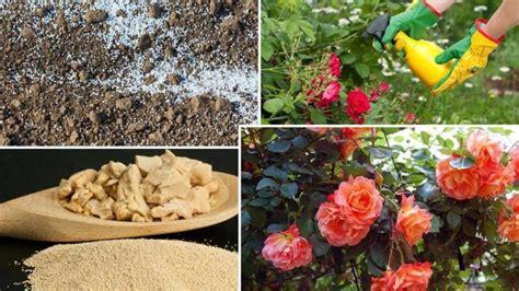 Kā barot rozes jūlijā ziedēšanas un pumpurēšanas laikā ...