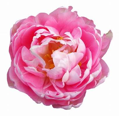 Flower Pink Transparent Flowers Rose Background Peony