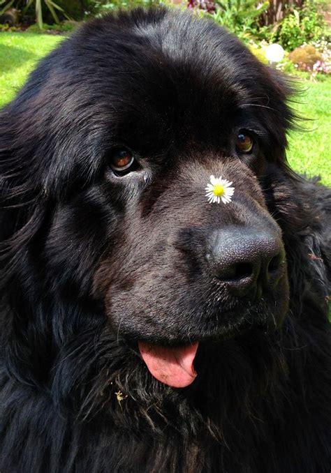 Best 25 Big Fluffy Dogs Ideas On Pinterest Huge Dogs