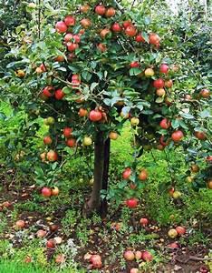 Großen Apfelbaum Kaufen : apfelbaum kaufen in 6 schritten zur idealen sorte mein ~ Lizthompson.info Haus und Dekorationen