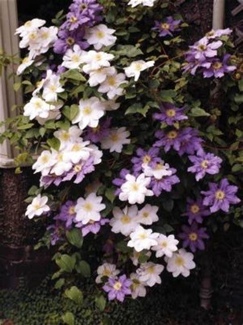 flowers that spillover perennials that spill over walls garden guides
