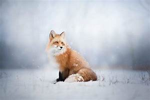 Fox Animals Snow Wallpapers HD Desktop And Mobile