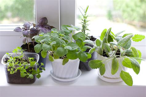 Herbs That Can Grow Inside by 6 Healing Herbs You Can Grow Inside And How To Use Them