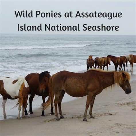 assateague island wild ponies seashore national chincoteague tipsforfamilytrips maryland travel horses md trips places pony usa virginia va