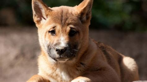 guinea singing dog information temperament names