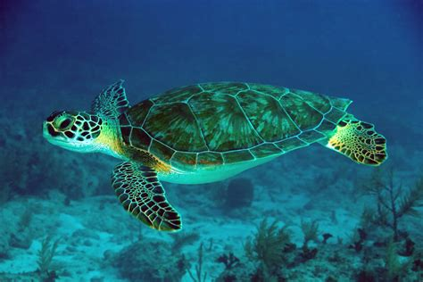 Lets Learn About Green Sea Turtles Journal Edge