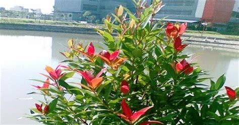 klasifikasi tanaman pucuk merah klasifikasi tanaman