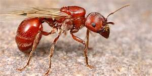 Termites Vs  Harvester Ants  Learn The Difference Between