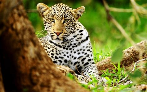 muzzle leopard wallpapers