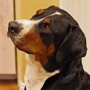 File:Great Swiss Mountain Dog 01.jpg - Wikimedia Commons
