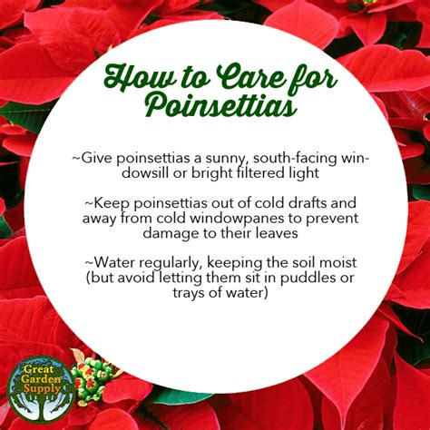 how to care for poinsettias how to care for poinsettias great garden supply
