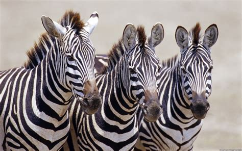 Zebra Wallpapers, Pictures, Images