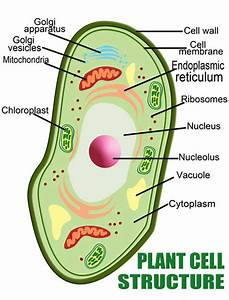 Human Cell Membrane Structure And Function Mitochondrion ...
