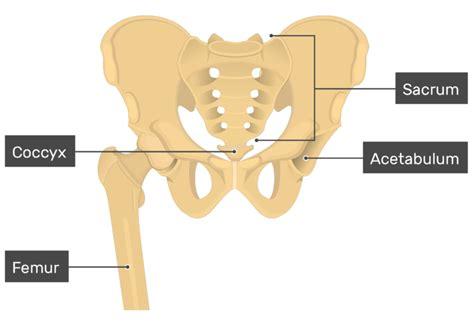 hip bone anatomy introduction