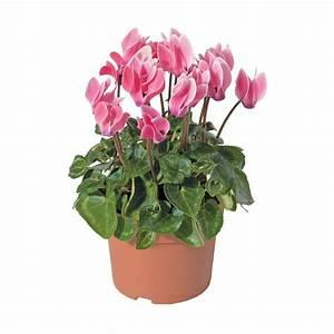 Plante D Intérieur Haute : mini cyclamen pot coloris variable autres ~ Premium-room.com Idées de Décoration