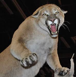 File Cougar Nevada Jpg