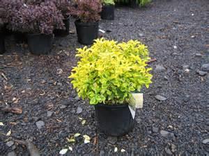 Yellow Dwarf Shrub Euonymus