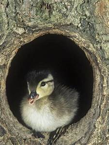 Baby Wood Duck, Aix Sponsa, Peering from its Nest Hole in ...