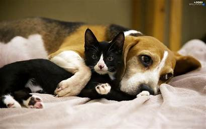 Beagle Kitten Dog Friends Dogs Wallpapers Published