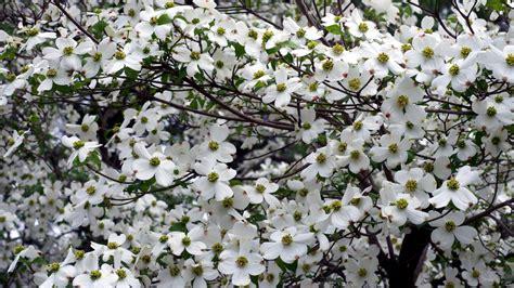 dogwood flower wallpaper