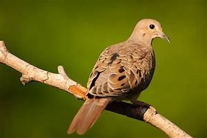 Juvenile Mourning Doves | Vincent Mistretta's Blog