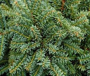 Piedmont Carolina Nursery » Blog Archive » Taxus cuspidata ...