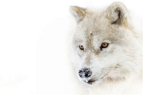 arctic wolf wallpapers backgrounds