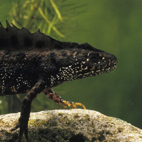 Great Crested Newt | National Geographic