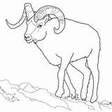 Dall Sheep Coloring Pages Bighorn Outline Realistic Printable Drawing Colouring Line Horn Ram Animals Horns Rams Supercoloring Tundra Rocky Template sketch template