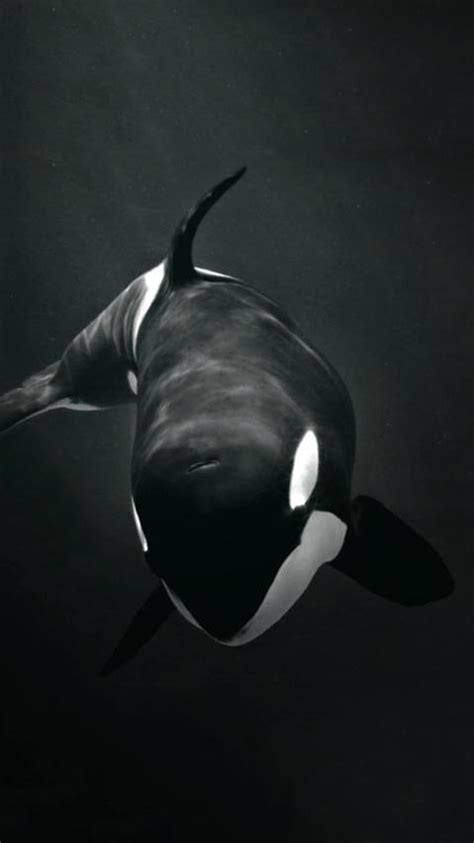Take a look at popular wallpaper galleries curated by wallpapersafari team. killer whale wallpaper for Android - APK Download