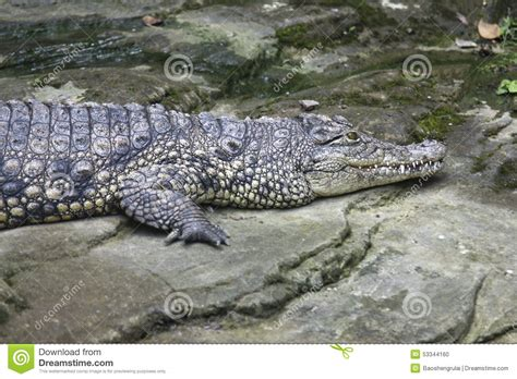 what color are crocodiles crocodile stock photo image of tawau wildlife