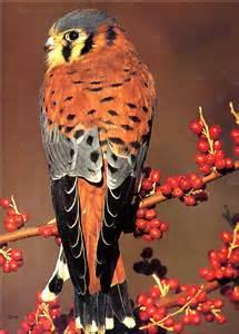 North American Sparrow Hawk