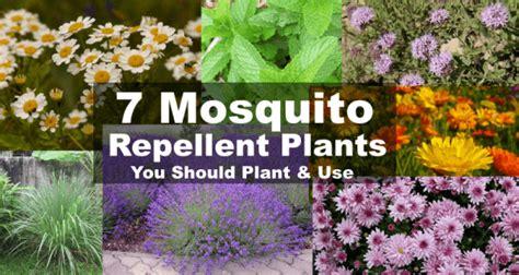 mosquito repellent bushes 7 natural mosquito repellent plants home remedies free survivalist