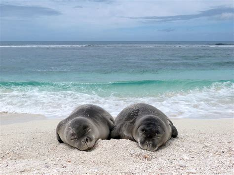 Hawaiian Monk Seal Population On The Rise | Hawaii Public ...
