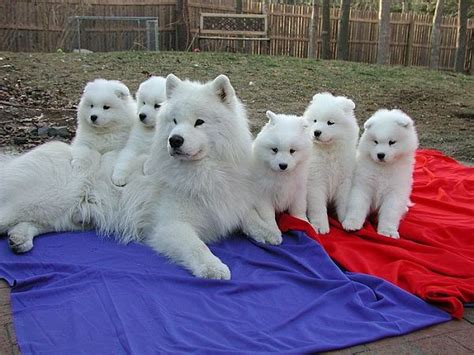 88 Best Images About My Big White Fluffy Dog On Pinterest