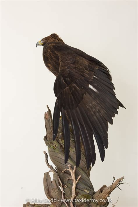 golden eagle mg uk bird small mammal taxidermist