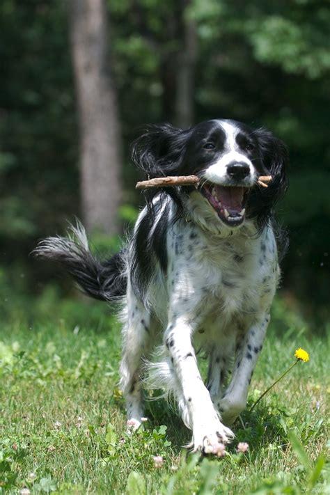 annjays field bred springer spaniel puppies