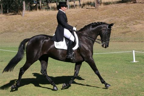 andalusian gelding koorong horses alfredo park sa adelaide horseguide brief