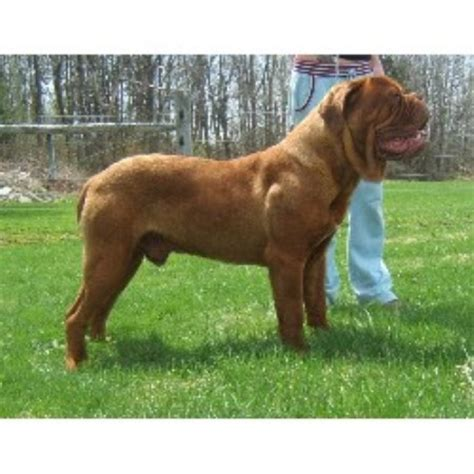 Dogue De Bordeaux French Mastiff Breeders In Ontario