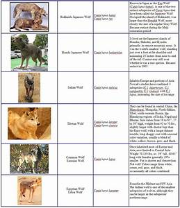 Canis lupus 101: Wolf Species