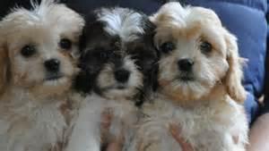 Cavapoo Puppies Sale