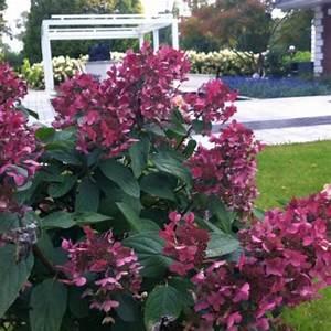 Hortensie Wims Red : hortensie wims red hydrangea paniculata wims red ~ Michelbontemps.com Haus und Dekorationen