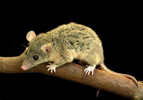 tailed opossum adw monodelphis jpg