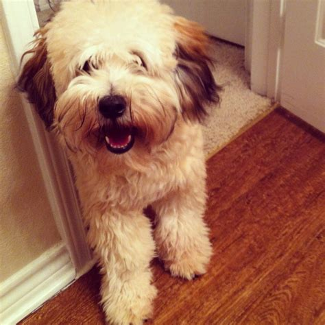 wheaten terrier mix shedding wheaten terrier poodle mix breeds picture