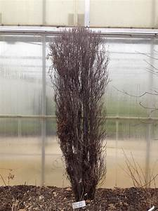 Gardening Simplified  Fine Line Buckthorn In Winter  An
